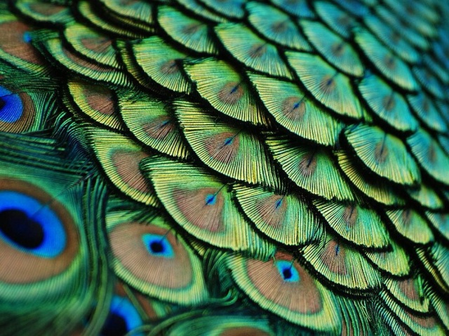 """Peacock, Florida"" by Lorenzo Cassina"